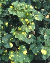 1 Strater Plant of Farfugium Japonicum 'Kagami Jishi' - $61.38