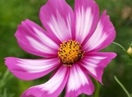 Shipped From Us, Cosmos Candystripe 30 Fresh Flower Seeds*Free Us SHIPPING-SPM - $16.99