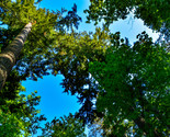 Tall Tree Branches Open to Deep Clear Blue Clouds Digital Art Image Photograph