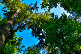 Tall Tree Branches Open to Deep Clear Blue Clouds Digital Art Image Phot... - $2.00