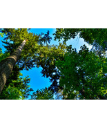 Tall Tree Branches Open to Deep Clear Blue Clouds Digital Art Image Photograph - $2.00