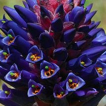 Puya Venusta - Chagualillo - Coastal Purple Puya - Bromeliad - 10 Seeds - $9.86
