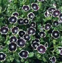 50 Seeds - Pennie Black Nemophlia Discoidalis Penny White #SFB1 - $17.99