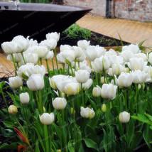10seeds white Tulip Bonsai Rare Flowers Bonsai Perennial Bonsai - $2.88