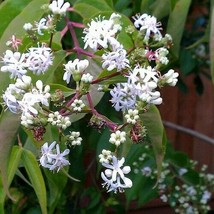 Ship From Us Seven Son Flower Tree Seeds (Heptacodium Miconioides) 20+Seeds UTS2 - $24.99
