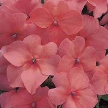 50 Seeds of Impatiens Accent Series Salmon Annual - $16.83