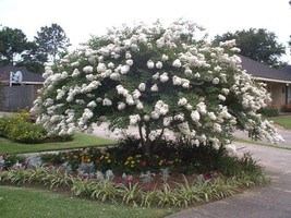 Live house plant Weeping crape myrtle Tree TALL in container Perennial s... - $42.97