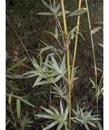 Chinese Goddess Bamboo Bambusa COLD HARDY Clumping variety - $49.99