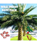10  Wild Indian Date Palm seeds, ( Phoenix sylvestris ) from Hand Picked... - $6.92