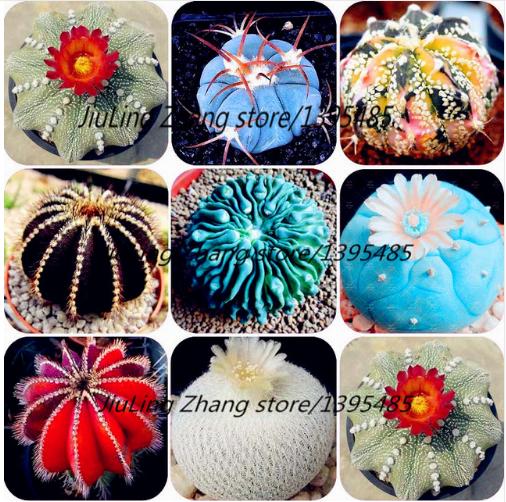 100bag Cactus plant seed,Rare plant seeds, Ball Cactus.Flowers Foliage magical