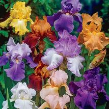 Bearded Iris mixed colors 5 bulbs image 3