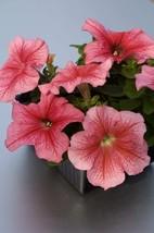 150 Pelleted Limbo Red Vein Petunia Seeds Flower Seeds Outdoor Living - Freeship - $58.99