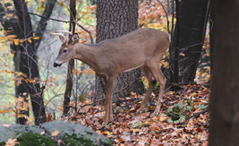 6 Point Buck 13 x 19 Unmatted Photograph - $35.00