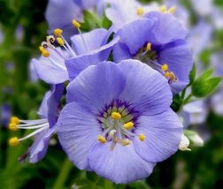 1000 Dwarf Jacobs Ladder Seeds - Spreading Jacob's Ladder - Polemonium r... - $12.25