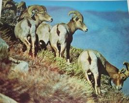 Vintage California Bighorn Sheep Photographic print Photograph Galen Row... - $14.84