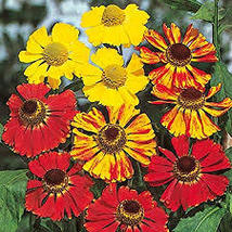 100 Pcs Seeds - Red and Gold Hybrids Helenium Seeds - Perennial HH01 - $11.99