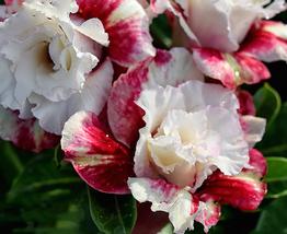 50pcs Very Elegant Milky White&Deep Red Adenium Garden Flower Seeds no soil IMA1 - $42.90