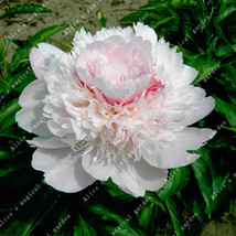 1seeds White Herbaceous Peony Bulb Flowers Bulbs Potted Home Garden - $2.88