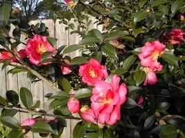 Outdoor Living - Camellia Sasanqua Shishi Gashira Pint Plant - tgi - $47.95