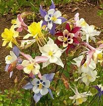 250 Seeds Columbine Mckana's Giant Mix Color Aquilegia vulgaris - $13.86