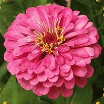 200 Zinnia Seeds Elegans Luminosa Flower Seeds TkMorebargins - $35.64