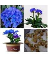 1 Seeds Real Blue Sky Gorgeous Clivia flower Kaffir Lily CLIVIA MINIATA ... - ₹418.40 INR