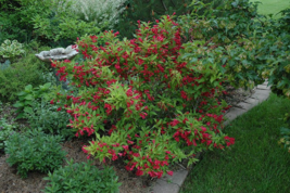 RUBY RED WEIGELA  (Weigela rubrun) image 3