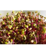 250 Pcs Seeds Daikon Raphanus Sativus Red Arrow Sprouting Radish Vegetab... - $16.00