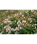 20 Starter Plant Indian Hawthorn Alba - $311.85
