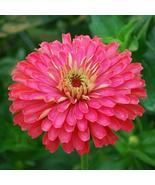 30 Seeds Giant Carmine Rose Zinnia Annual Flower - $16.65
