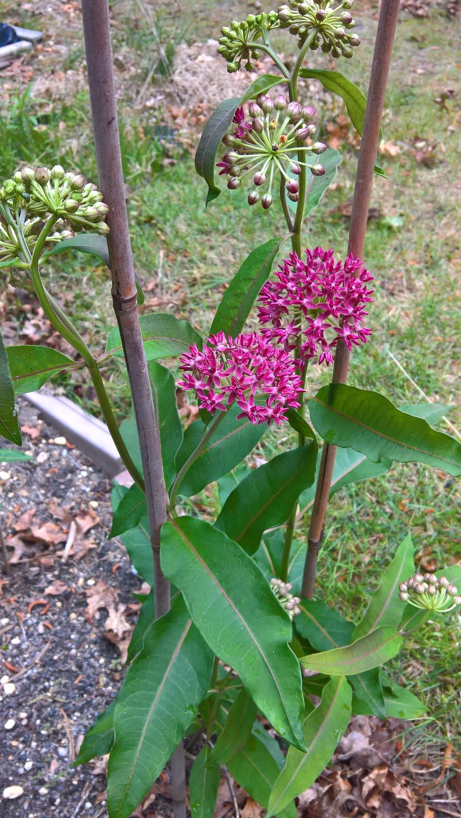 Organic Native Plant, Purple Milkweed, Asclepias purpurea