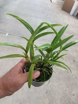 Dendrobium Blue Twinkle Antelope Type Orchid Plant Blooming Size!________ image 3