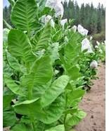 Bursa tobacco seeds / WORLDWIDE FREE SHIPPING / HARVEST 2018 - $3.99
