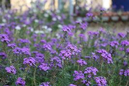 10 Variety Seeds - Moss Verbena Perennial Ground Cover Creeping Seeds #I... - $12.99+