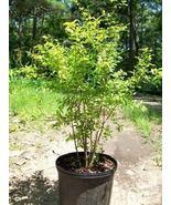 Dwarf Pomegranate Tree 3 Gal. Live Healthy Plant Health Fruit Garden Trees - $151.99
