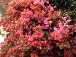 Bougainvillea - 'Orange King' live plant - GrayStR - $28.79