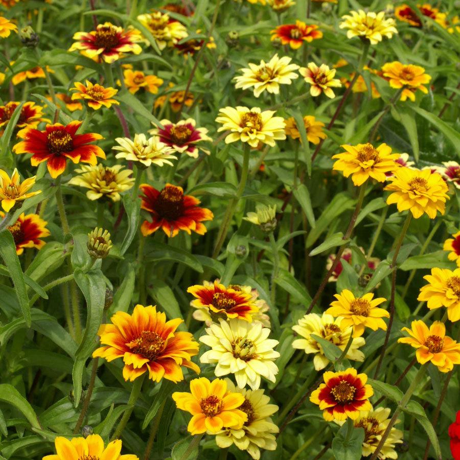 100 Seeds Mix Zinnia Haageana Mexican Flower