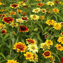 100 Seeds - Mix Zinnia haageana - Zinnia Mexican Flower - $8.99