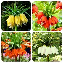 Super 30 Seeds 4 Kinds Crown Imperial Plant Wang Fritillaria Flower Easy Growing - $2.10