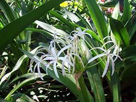 20 Bulbs Giant White Amazon Crinum Lily - $36.68