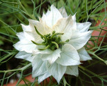 100_grams_35700_seeds_black_cumin_white_nigella_sativa_roman_coriander-02_thumb155_crop