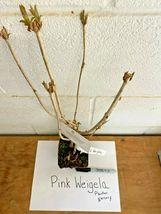 """Pink Weigela 4"""" pot image 3"""