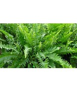 Boston Fern Hanging Live Plant - $6.99