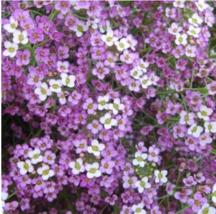 100pcs very Graceful Alyssum Lobularia maritima Flower - $14.93