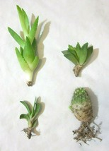 "4 count 2.5""-6"" Cactus & Succulent Assortment 4 Separate Varieties Roote... - $7.42"