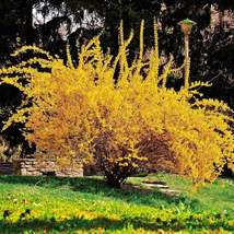 "Forsythia Lynwood Gold 4""pot ""Golden Bells""(Forsythia xintermedia 'lynwood) image 2"