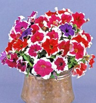 200+PETUNIA PICOTEE MIX Flower Seeds Hanging Baskets Beds Window Box Con... - $2.50