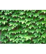 30 Boston Ivy Vine Seeds Parthenocissus tricuspidata - $9.89