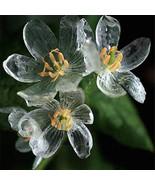 200 Seeds Skeleton Flowers Seeds , Beautiful Flower Seeds - $3.79