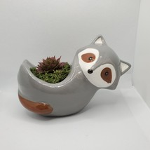 "Live Succulent in Raccoon Animal Planter, 5"" grey glazed ceramic pot Sempervivum"